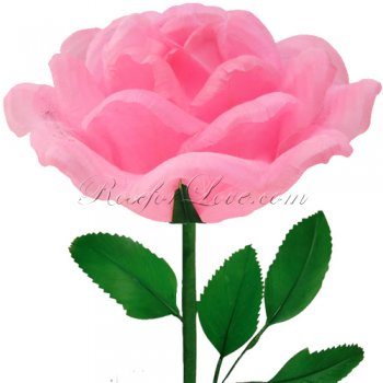 24 Blooming Light Pink Feather Roses
