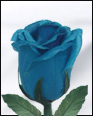 Half Blooming Blue Feather Rose