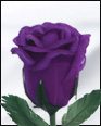Half Blooming Purple Feather Rose