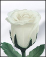 Half Blooming White Feather Rose
